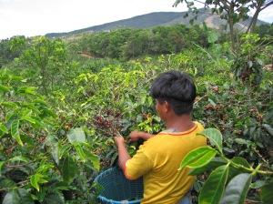 plantación café nicaragua